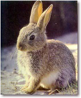 Como a un conejo